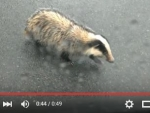 video-nebrezinsky-jezevec