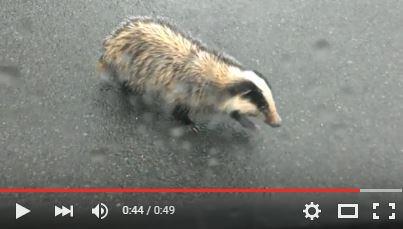 Video Nebřezinský jezevec